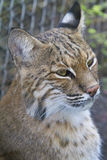 Bobcat portrait - Lynx rufus. Bobcat close-up from the side Stock Photos