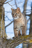 Bobcat portrait. Standing in a tree Stock Photos