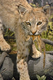 Bobcat & prey. A stuffed bobcat with prey, focus on foreground Royalty Free Stock Image