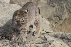 Bobcat on the prowl of food Royalty Free Stock Photography