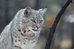 Bobcat on the Prowl. Wild bobcat on the prowl in the wilderness Royalty Free Stock Photography