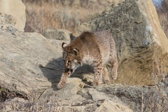 Bobcat prowling Royalty Free Stock Image