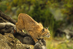 Bobcat Ready to Pounce. A bobcat perched at the end of a log ready ot pounce on prey - backlit Royalty Free Stock Image