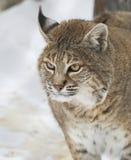Bobcat Stock Image