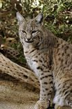 Bobcat Reflections. Bobcat seems deep in thought. Close-up of a Bobcat showing the detail in spots and huge paws. Soft silver, grey and browns. The spots are Stock Image