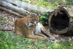 Bobcat relaxing. Bobcat (Lynx rufus) relaxing in the grass Royalty Free Stock Images