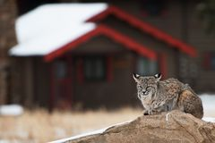 Bobcat in Residential Area Royalty Free Stock Photos