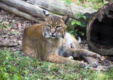 Bobcat at rest. Bobcat (Lynx rufus) resting in the grass Royalty Free Stock Photography