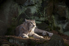 Bobcat resting Stock Photos