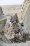 Bobcat resting on rock in vertical picture Stock Images