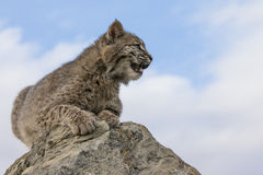 Bobcat resting on top of rock