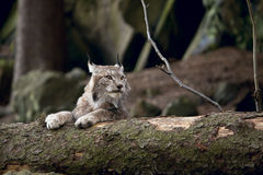 Bobcat resting on the wood. European bobcat, resting in the forest Stock Image