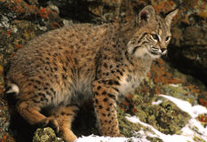 Bobcat in Rocks Stock Images