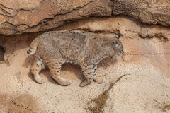 Bobcat in Rocks Stock Image