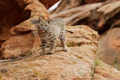 Bobcat on Rocky Ledge. Bobcat standing on lichen covered red sandstone ledge Stock Images