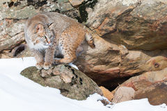 Bobcat on rocky ledge Royalty Free Stock Photo