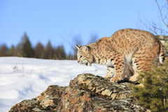 Bobcat on rocky ledge