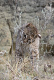 Bobcat rubbing face on sage nip Stock Image