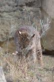 Bobcat rubbing sage on fur Stock Images