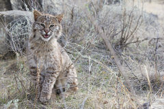 Bobcat rubbing on sage grass Royalty Free Stock Images