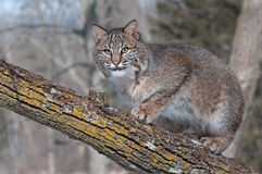 Bobcat (rufus λυγξ) Crouches στον κλάδο που φαίνεται αριστερό Στοκ εικόνα με δικαίωμα ελεύθερης χρήσης