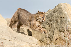 Bobcat running with legs up Royalty Free Stock Image