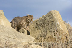 Bobcat running towards prey. Bobcat running over rocks to catch prey royalty free stock photography