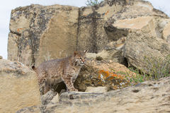 Bobcat searching for prey. In rocky cliff Stock Image