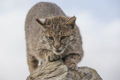 Bobcat sharpening claws on rock royalty free stock images