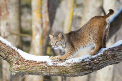 Bobcat sharpening his claws. In tree Stock Photography