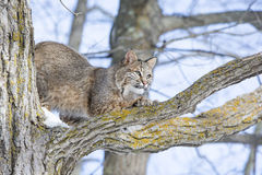 Bobcat sharpening his claws on tree branch Royalty Free Stock Photos