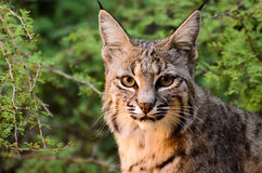 Bobcat Stock Photos