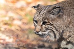 Bobcat side portrait in the fall royalty free stock image