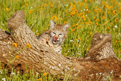 Bobcat sitting behind a log Royalty Free Stock Photography
