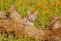 Bobcat sitting behind a log Royalty Free Stock Image