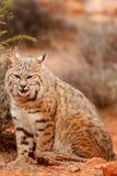 Bobcat sitting in a desert. Bobcat Lynx rufus sitting in a desert Stock Photo