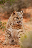 Bobcat sitting in a desert Royalty Free Stock Photo