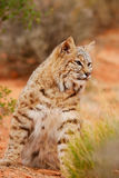 Bobcat sitting in a desert Royalty Free Stock Image