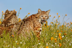Bobcat sitting in a grass with flowers Stock Image