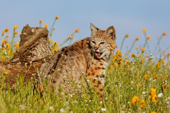 Bobcat sitting in a grass with flowers Royalty Free Stock Photo