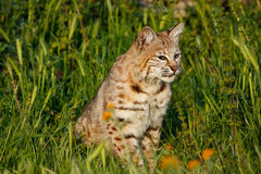 Bobcat sitting in a grass with flowers Stock Photo