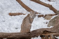 A bobcat sitting on a log during Winter royalty free stock images