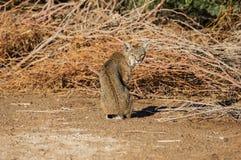 Bobcat. A sitting bobcat looks back over its shoulder Royalty Free Stock Photos