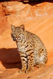 Bobcat sitting on red rocks Royalty Free Stock Photography
