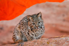 Bobcat sitting on red rocks Stock Images