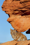 Bobcat sitting on red rocks Royalty Free Stock Images