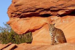 Bobcat sitting on red rocks. Bobcat Lynx rufus sitting on red rocks Royalty Free Stock Photos