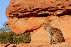 Bobcat sitting on red rocks Stock Photography