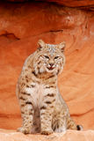 Bobcat sitting on red rocks Stock Photos