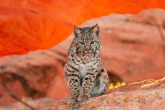Bobcat sitting on red rocks Royalty Free Stock Photo
